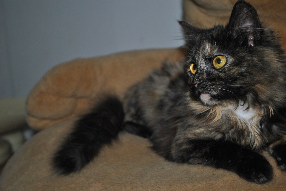 torti kitten with golden eyes looking left