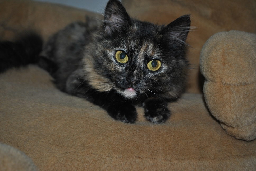 torti kitten wants to play