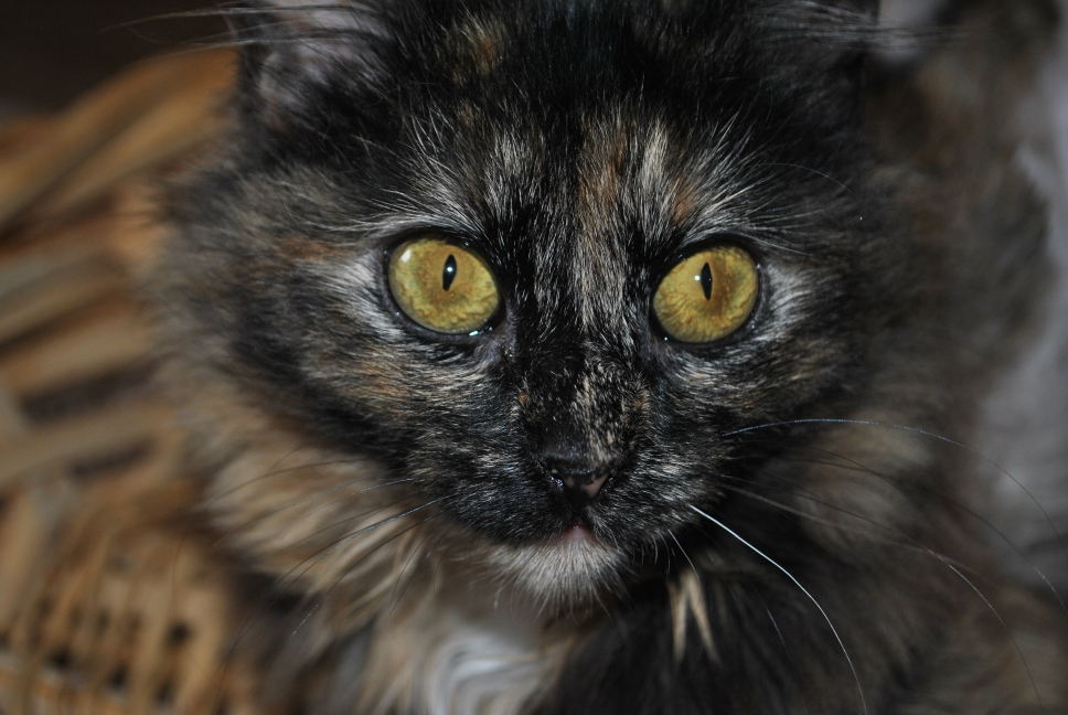torti  kitten with gold eyes