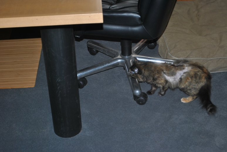 small tortie cat exploring an office