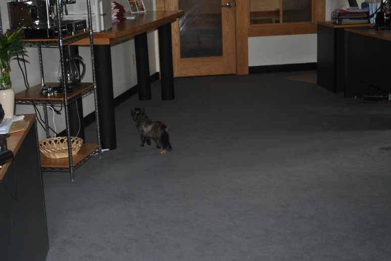 small tortie cat in an open office
