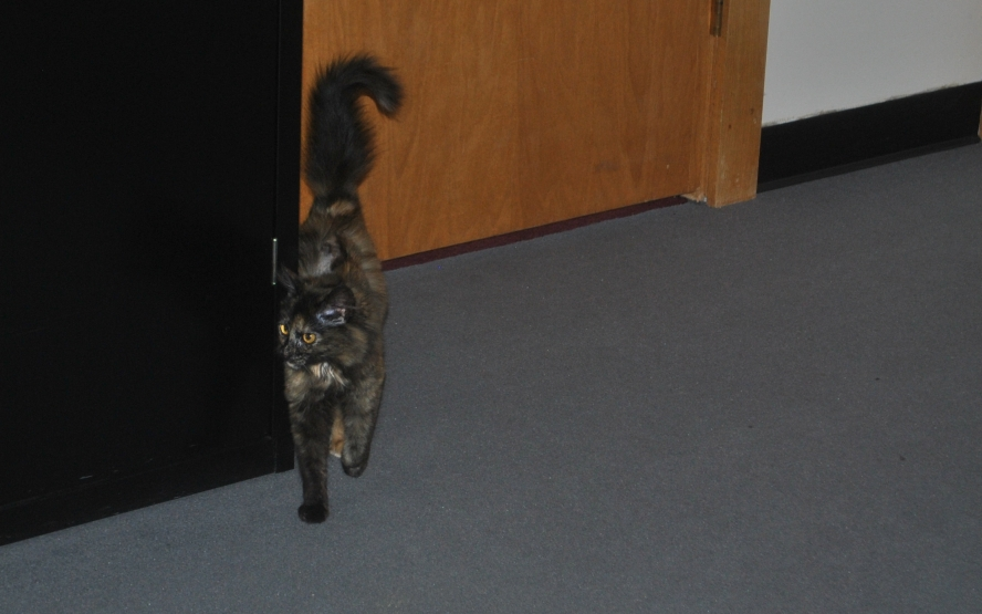 small tortie cat, tail up, rubbing against cabinet