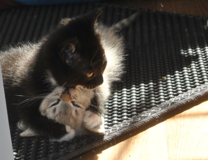 small black and white kitten pins brother to the ground