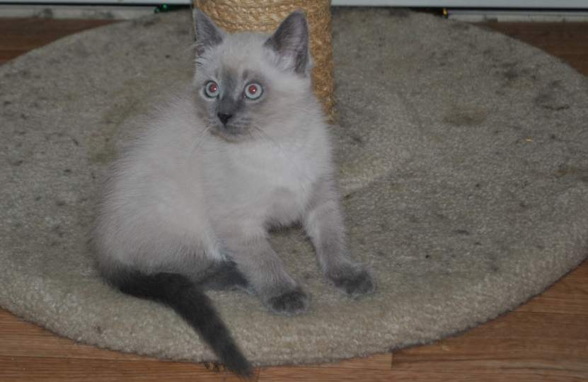 seal point kitten with big blue eyes