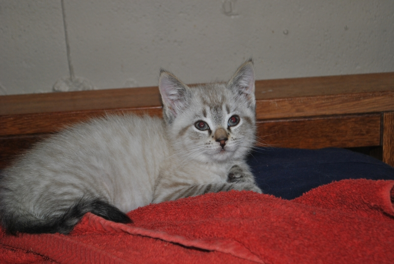 lynx point kitten sitting on the end of the couch