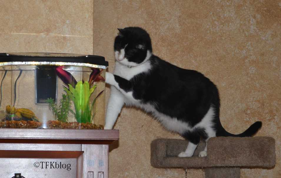 my cat Eli interacting with my new beta fish