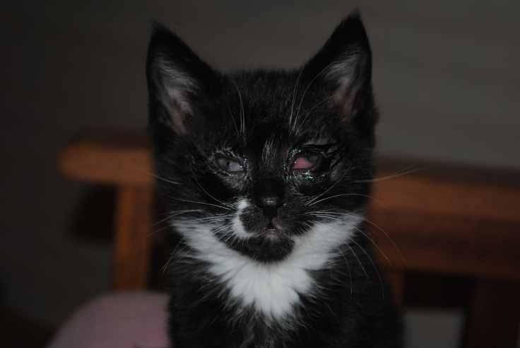 Cat Eating With Pneumonia
