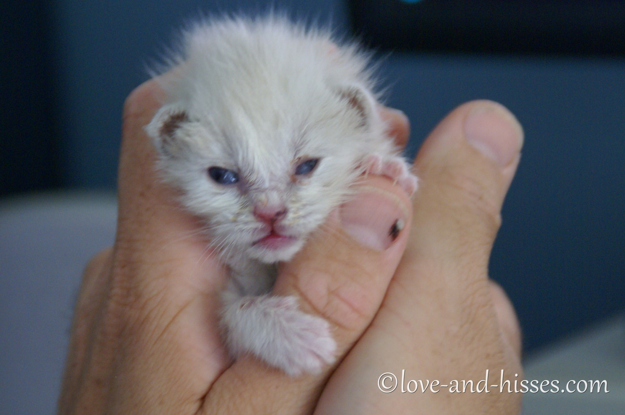 week old white kitten being held in two hands