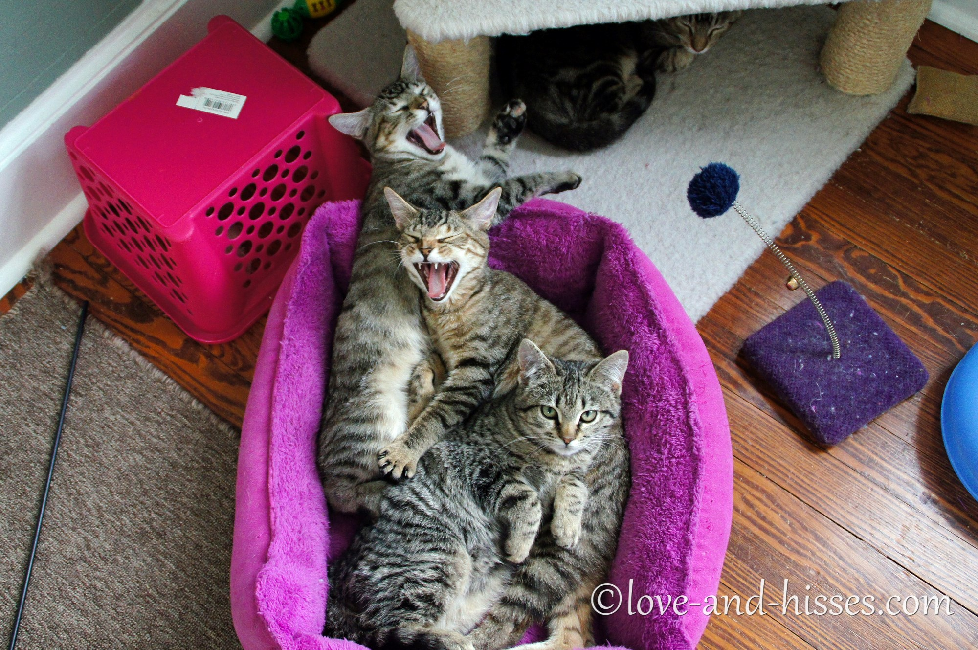 Three kittens in a cat bed, two yawning